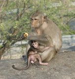 A monkey with her baby. This picture is made in Thailand, free wild monkeys used to take food from tourists royalty free stock image