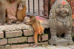 Monkey with her baby at Swayambhunath, Nepal Royalty Free Stock Image