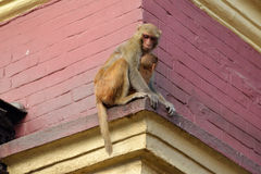 Monkey with her baby at Swayambhunath, Nepal Royalty Free Stock Photography