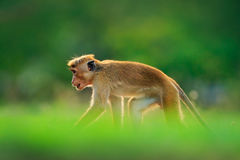 Monkey hidden in the grass. Toque macaque, Macaca sinica, monkey with evening sun. Macaque in nature habitat, Sri Lanka. Detail of. Monkey, Asia Royalty Free Stock Images