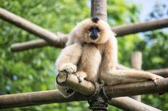 Monkey. High atop his enclosure at the zoo Stock Photos