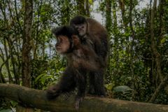 The monkey and its cub royalty free stock photos