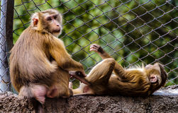 Monkey and his wife Royalty Free Stock Photos