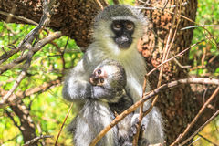 Monkey holding baby Royalty Free Stock Photo