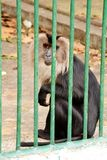 Monkey behind Fence in the Zoo. Monkey holding for the bars in a Zoo Stock Photo