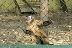 Monkey behind Fence in the Zoo. Monkey holding for the bars in a Zoo Royalty Free Stock Photos