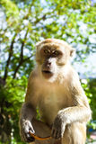 Monkey holding a coconut shell Royalty Free Stock Photos