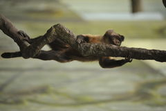 Monkey holding onto a vine. In the rain forest Royalty Free Stock Images