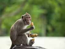 Monkey holds three bananas Stock Photos