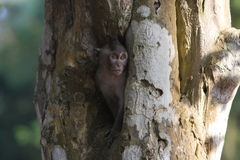 Monkey in a hole in a tree, near Bayon Temple Royalty Free Stock Photography