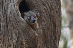 Monkey in the hollow. Small lemur hidden in the hollow of the tree, Madagascar royalty free stock photo