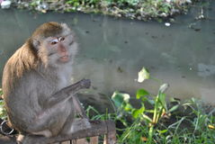 The monkey hope Royalty Free Stock Photography