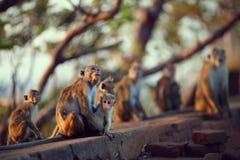 Monkey horde Stock Image