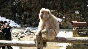 Monkey. And Hot Spring Stock Image
