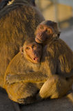2 monkey hug each other on sun light Royalty Free Stock Photography