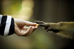 Monkey and human hands reaching Royalty Free Stock Photography