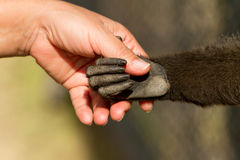 Monkey and human handshake Stock Photo