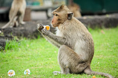 Monkey. Hungry Monkey eating a delicious dessert Royalty Free Stock Photos