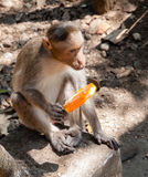 Monkey with icecream. Royalty Free Stock Photos