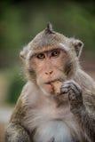 Monkey il cibo e divertiresi al tempio di Ankor Wat. Fauna selvatica dell'Asia. Fotografie Stock