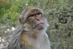 Monkey il fronte Fotografia Stock Libera da Diritti