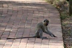Monkey il gioco con un insetto nella savanna Fotografia Stock Libera da Diritti