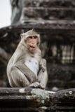 Monkey il gioco e divertiresi al tempio di Ankor Wat. Immagini Stock Libere da Diritti