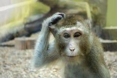 Monkey il graffio della sua testa, l'animale ha cominciato a pensare immagine stock