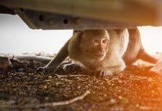 Monkey il pellame sotto l'automobile che guarda lo sconosciuto Immagine Stock