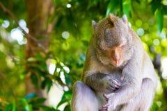 Monkey il sonno a Koh Sam Muk, Chon Buri, Tailandia Fotografia Stock Libera da Diritti