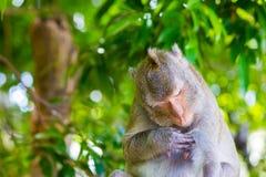 Monkey il sonno a Koh Sam Muk, Chon Buri, Tailandia Fotografia Stock