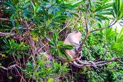 Monkey a ilha em Cat Ba, baía longa do Ha na silhueta de Vietname Foto de Stock