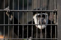 Free MONKEY IN CAGE Royalty Free Stock Photo - 9700385