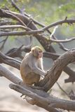 Monkey in India Royalty Free Stock Photo