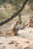 Monkey in India Royalty Free Stock Photos