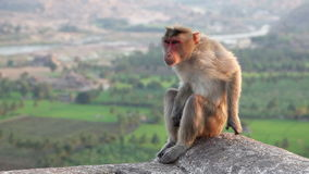 Monkey in India stock footage
