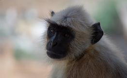 Monkey in india. Waiting for tourist for eat. with a beautifull eyes with the lost look royalty free stock photography
