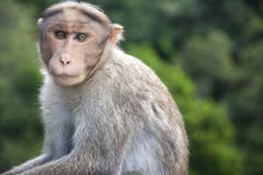 Monkey in Indian roadside Royalty Free Stock Images