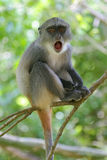 Monkey Infant. Infant of Sykes monkey, Cercopithecus mitis albogularis, with wide open mouth Royalty Free Stock Photography