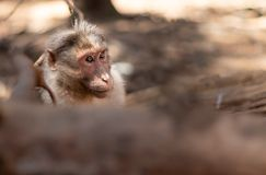 Monkey isolated head with blurred foreground. In details stock photography