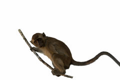 Monkey isolated. The monkey  siting on the branch isolated Stock Photos