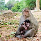 Monkey with its baby Royalty Free Stock Photo