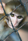 Monkey in jail Royalty Free Stock Photos