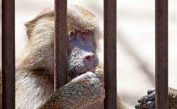 Monkey in jail Stock Image