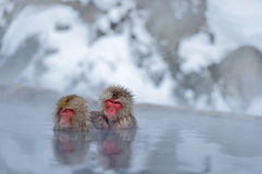 Monkey Japanese macaque, Macaca fuscata, family with baby in the water, red face portrait in the cold water with fog, two animal i. Monkey Japanese macaque Royalty Free Stock Photo