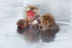 Monkey Japanese macaque, Macaca fuscata, family with baby in the water. Red face portrait in the cold water with fog. Two animal i. Water Royalty Free Stock Image