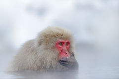 Monkey Japanese macaque, Macaca fuscata, red face portrait in the cold water with fog and snow, hand in front of muzzle, animal in Royalty Free Stock Photos