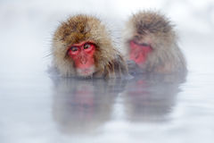 Monkey Japanese macaque, Macaca fuscata, red face portrait in the cold water with fog, two animal in the nature habitat, Hokkaido, Royalty Free Stock Images