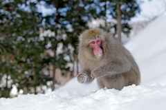Monkey Japanese macaque, Macaca fuscata, sitting on the snow, Hokkaido, Japan Stock Photography