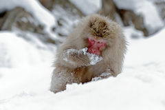 Monkey Japanese macaque, Macaca fuscata, sitting on the snow, Hokkaido, Japan. Winter scene with monkey from snowy mountain. Cute stock image